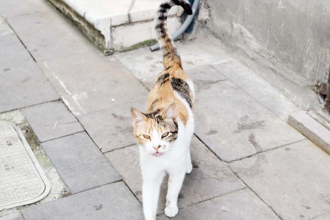GG-CatsOfTurkey_HeatherLighton_DSF2008