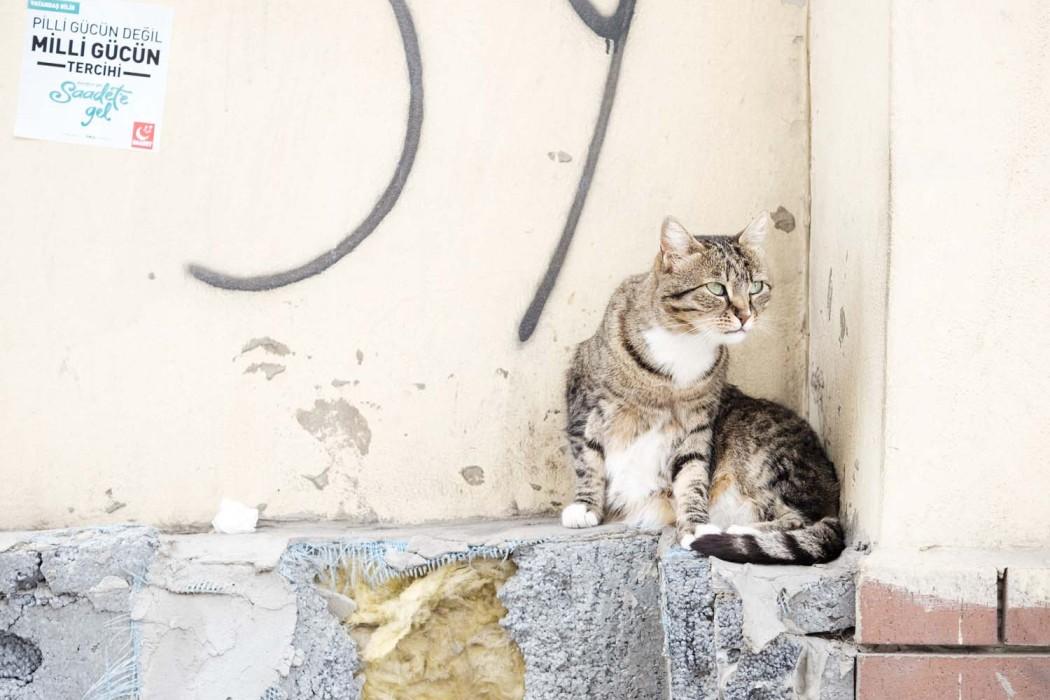 GG-CatsOfTurkey_HeatherLighton_DSF2169